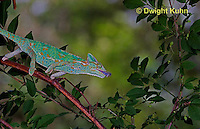 CH38-614z Female Veiled Chameleon tongue flicking to catch insect prey, Chamaeleo calyptratus, for sequence see CH38-516z