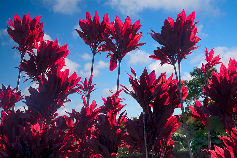 Backlit ti plants. Maui, Hawaii