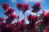 Backlit ti plants. Maui, Hawaii