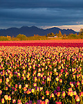 Skagit County, WA   <br /> Evening light rakes across a field of tulips with storm clouds over the Cascade Range.