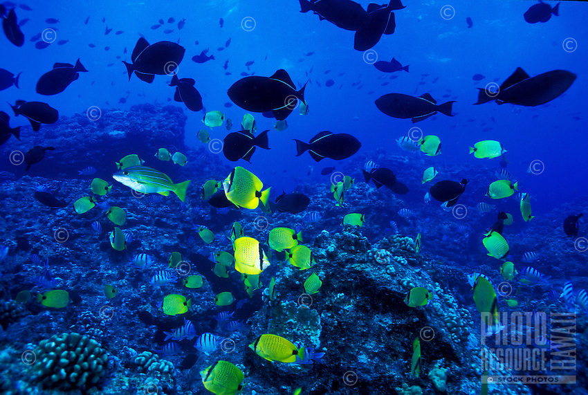 Underwater scene of Hawaiian reef fish