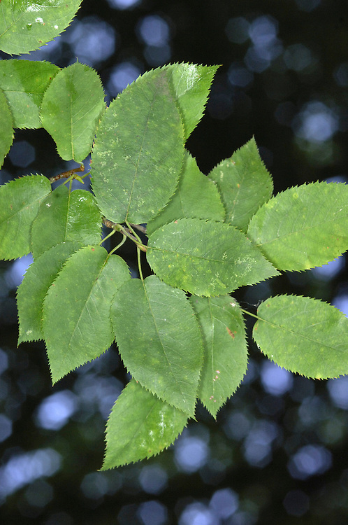 American Snowy Mespil Amelanchier laevis (Height to 20m) Small, smooth-barked tree with similar leaves to Snowy Mespil; turn bright-red in autumn. Flowers in drooping spikes and 6mm-long fruits are purple when ripe. Naturalised in parts of S England, but usually seen in gardens.