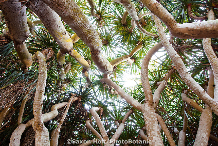 Looking up through the Dragon tree circle at Lotusland; Dracaena draco grove, succulents trees