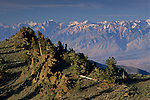 Bristlecone Pines and eastern slope of the High Sierra, Ancient Bristlecone Pine Forest the White Mountains, CALIFORNIA
