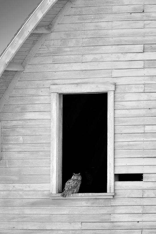 Great horned owl in window of barn. The Palouse, Washington