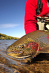 FLY FISHING FOR RAINBOW TROUT IN KULIK LODGE, ALASKA IN THE FALL