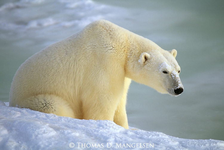 A portrait of polar bear sitting on a snowy shore.