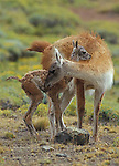 Adult female Guanaco smelling her newborn foal. Torres del Paine National Park, Chile.