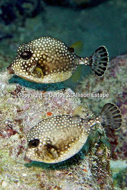 Lactophrys triqueter, Smooth trunkfish, juvenile FL Keys