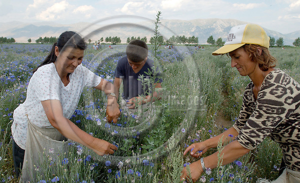 Ramiu-Korca/Korce-Albania - August 03, 2004---Day labourers picking blossoms of centaurea (cyanus?); the blossoms are used (and sold) for medical treatment of e.g. eyes and prostata;  project area of GTZ-Wiram-Albania (German Technical Cooperation, Deutsche Gesellschaft fuer Technische Zusammenarbeit (GTZ) GmbH); agriculture-culture-people---Photo: Horst Wagner/eup-images