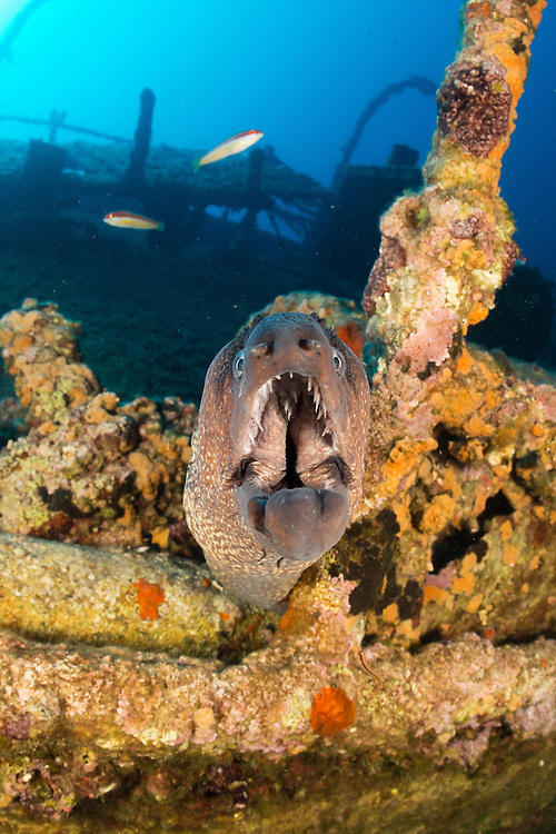 Moray Eel on the wreck of the Teti, Vis, Croatia which lies between 10 and 33 metres