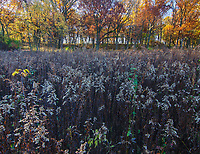 Goldenrod now past bloom and drying in the autumn stiil fills its field while bordered with autumn colored trees, Oldfield Oaks Forest Preserve, DuPage County, Illinois