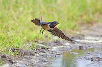 Rauchschwalbe, sammelt Schlamm als Nistmaterial, Rauch-Schwalbe, Schwalbe, Schwalben, Hirundo rustica, barn swallow, L'Hirondelle rustique
