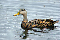 Mottled Duck - Anas fulvigula - male
