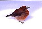 CROSSBILL; red crossbill, loxia curvirostra