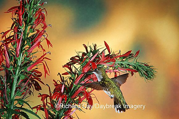 01162-06509 Ruby-throated Hummingbird (Archilochus colubris) female on Cardinal Flower (Lobelia cardinalis) Shelby Co. IL