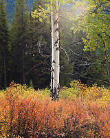 Ethereal beauty of an aspen tree in Banff National Park, Canada