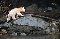 Great Bear Rainforest 2017
