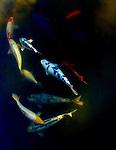 Koi carp swimming