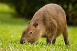Capybara (Hydrochoerus hydrochaeris) juvenile grazing, Ibera Provincial Reserve, Ibera Wetlands, Argentina
