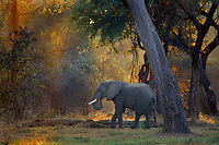 "African elephant bull (Loxodonta africana)  Early morning at Mana Pools National Park, Zimbabwe. This elephant is in what is called a ""gallery forest"" (a forest growing along a watercourse in a region otherwise devoid of trees) habitat along the Zambezi River."
