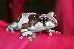 Amazonian Milk Frog, Phrynohyas resinifictrix, South America