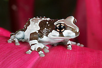 Amazonian Milk Frog, Phrynohyas resinifictrix, South America
