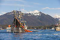 Fishing vessel cape purse seiner, Hukilau, draws a net full of Pacific Herring during the 2006 Pacific Herring fishery opener in Sitka, Alaska