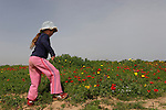 Israel, Besor region in the northern Negev, Anemone flowers in Bitronot Ruhama