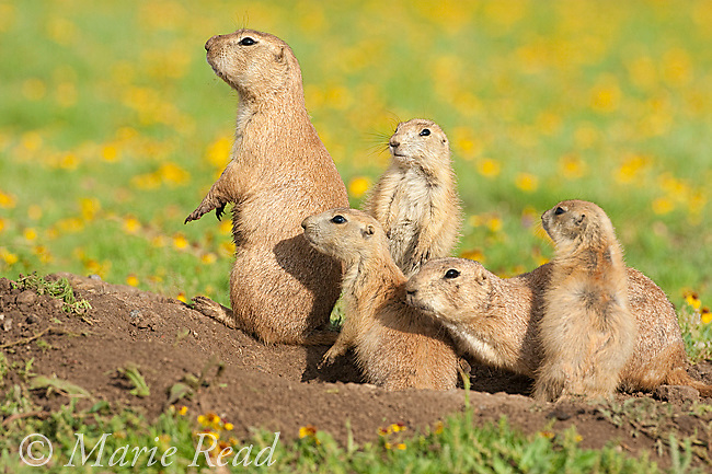 Black-tailed Prairie Dogs (Cynomys ludovicianus), family of 2 adults and 3 young outside their burrow, Wichita Mountains National Wildlife Refuge, Oklahoma, USA