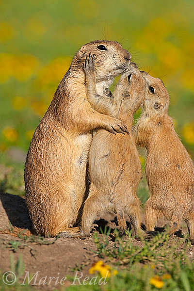 Black-tailed Prairie Dogs (Cynomys ludovicianus), two pups (R) seem to be kissing their parent. The behavior is a gesture of recognition and identification among members of a social group of these gregarious mammals. Wichita Mountains National Wildlife Refuge, Oklahoma, USA.
