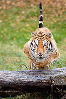 Siberian Tiger jumping over a log - CA