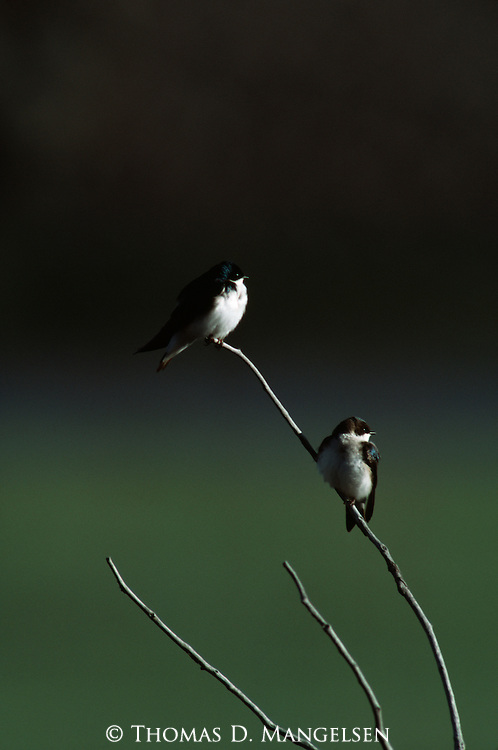 Tree Swallow pair perched on a small branch.