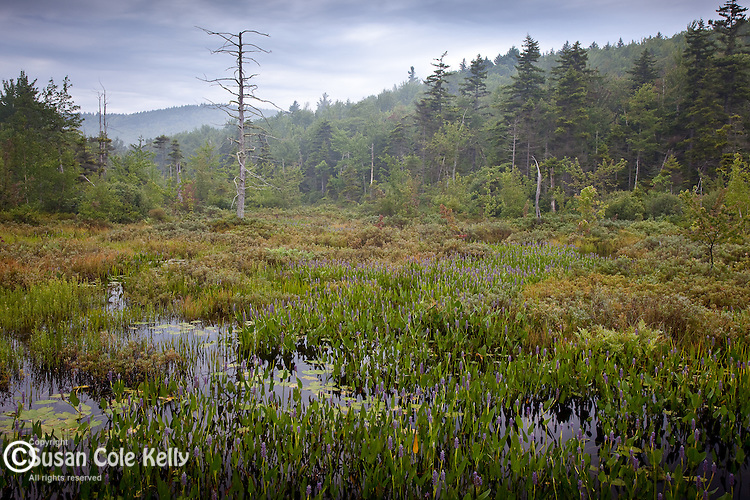 A misty marsh in Pillsbury State Park in Washington, NH, USA