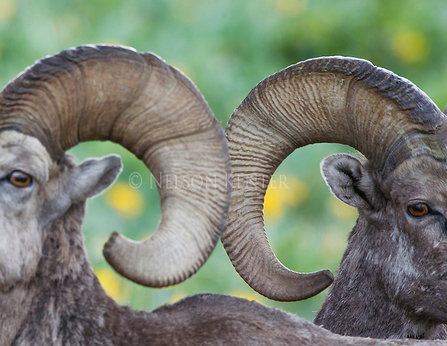 bighorn sheep rams in montana close up views of horns