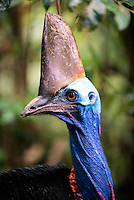 Southern Cassowary (Casuarius casuarius), also known as the Double-wattled Cassowary, Australian Cassowary or Two-wattled Cassowary, is a large flightless black bird. It is a Ratite and therefore closely related to the Emu, Ostrich, and Rhea...