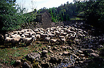 Sheep by small stream, Stone House, Dentdale, Yorkshire, England