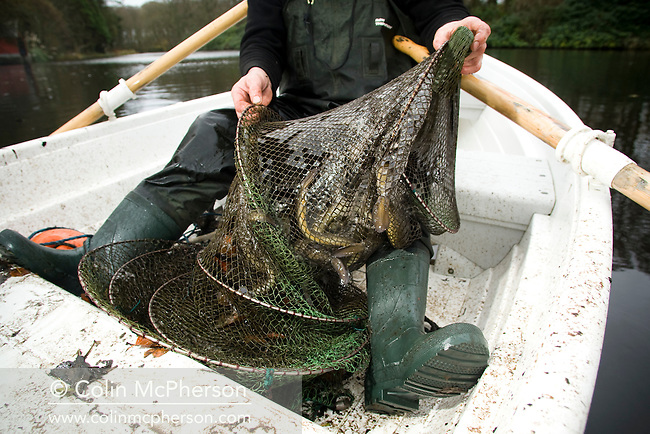 Fisherman David McCreadie sitting in his small rowing boat showing off a fyke net full of freshly-caught eels from the waters of a small inland lake on Anglesey, north Wales, during the fishing season. Once caught, the eels are transferred to tanks before being killed, gutted and prepared for market at Mr McCreadie's Derimon Smokery on the island. With a reported 95 per cent drop in eel numbers across England and Wales, there is concern that this age-old tradition may be under threat.