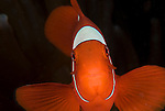 Spine-cheek Anemonefish,.Premnas biaculeatus