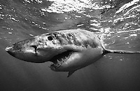 nj152bw. Great White Shark (Carcharodon carcharias). South Africa, Atlantic Ocean. Converted to black and white..Photo Copyright © Brandon Cole. All rights reserved worldwide.  www.brandoncole.com..This photo is NOT free. It is NOT in the public domain. This photo is a Copyrighted Work, registered with the US Copyright Office. .Rights to reproduction of photograph granted only upon payment in full of agreed upon licensing fee. Any use of this photo prior to such payment is an infringement of copyright and punishable by fines up to  $150,000 USD...Brandon Cole.MARINE PHOTOGRAPHY.http://www.brandoncole.com.email: brandoncole@msn.com.4917 N. Boeing Rd..Spokane Valley, WA  99206  USA.tel: 509-535-3489