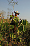Farmer tends his Guama plot near Ixcan, Guatemala..Guama is planted in cornfields to provide shade protection and crop diversity.A farmer tends his Guama plot near Ixcan, Guatemala..Guama is planted in rows in cornfields, called alley cropping.  .Guama is a large, fast growing species that when sown in between basic grains, spices, and cacao creates shade that eliminates weeds, maintains humidity, fixes nitrogen in the soil, and provides wood that can be used as fuel. By improving soil conditions, it serves to increase crop yields significantly and reduce the search for new areas to cultivate. Moreover, guama increases ground cover and is welcoming to diverse species of birds and other wild animals.