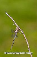 06364-001.04 Springtime Darner (Basiaeschna janata) male, Clay Co,  IL