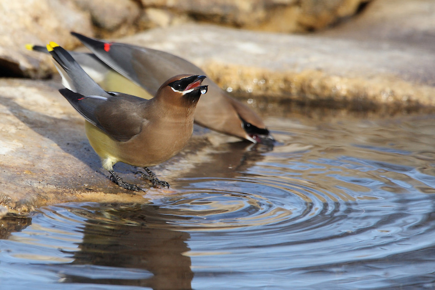 Cedar Waxwings are nomadic and irruptive, and wander in search of food sources, rather than undertake a typical migration.