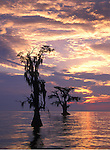 Sunrise at Lake Maurepas, Louisiana. The environmental concern of Louisiana's receding wetland's are on full display where the swamp meets the Lake on Lake Maurepas, Louisiana. These cypress trees were once part of the deep forest that now sits in the distance.
