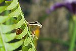 Pacific treefrog (Pacific chorus frog), Hyla regilla (Pseudacris regilla), on deer fern, Blechnum spicant