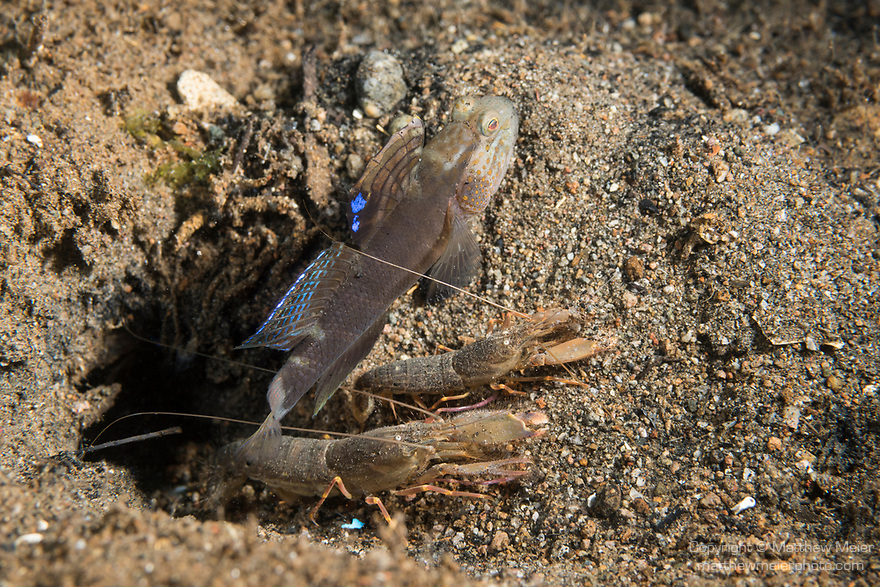 Dumaguete, Dauin, Negros Oriental, Philippines; a shrimp goby with two shrimp sharing it's burrow, the shrimp keep the burrow clean and clear by bull dozing debris out of the hole and the goby keeps watch and acts as their body guard