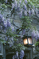 wisteria blooming at Branford College, Yale University, New Haven, CT
