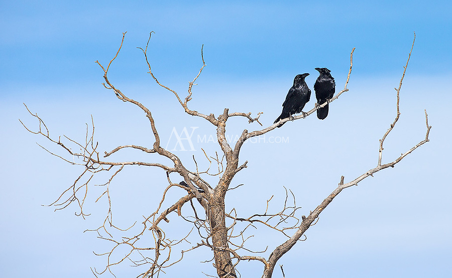 Ravens mate for life.  They may stick together for decades.