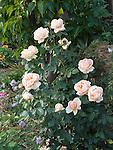 Abbaye de Cluny Rose bush, Romantica Rosa hybrid