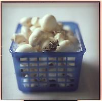 Europe/France/Pays de la Loire/49/Maine -et-Loire: Champignons de Paris ,Champignons de couche cultivés dans la région de Saumur  dans des galeries creusées dans le tuffeau - Stylisme : Valérie LHOMME